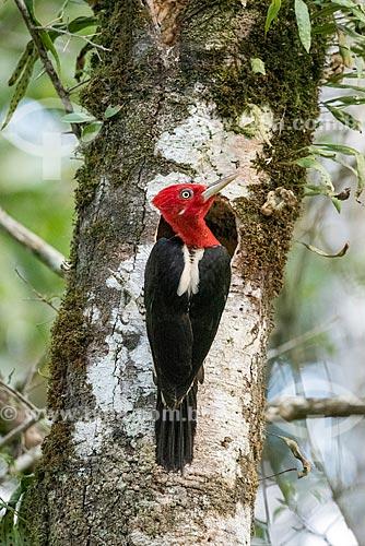 Detalhe de pica-pau-rei (Campephilus robustus) na Área de Proteção Ambiental da Serrinha do Alambari  - Resende - Rio de Janeiro (RJ) - Brasil