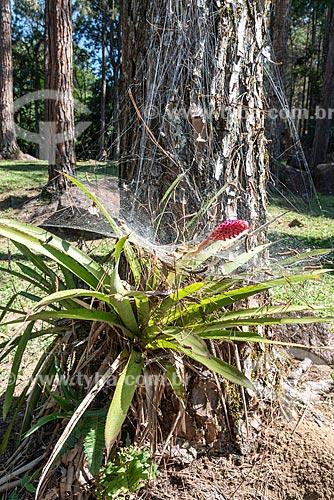Bromélia com flor coberta por teias de aranha na Área de Proteção Ambiental da Serrinha do Alambari  - Resende - Rio de Janeiro (RJ) - Brasil