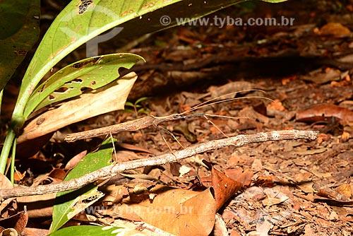 Detalhe de bicho-Pau  - Amazonas (AM) - Brasil