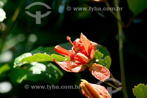 Detalhe de flor de maracujá poranga (Passilora coccínea)  - Amazonas (AM) - Brasil