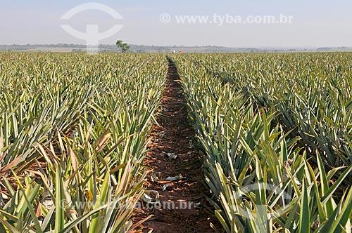 Plantação de abacaxi pérola  - Frutal - Minas Gerais (MG) - Brasil