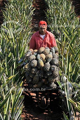 Trabalhador rural colhendo abacaxi pérola  - Frutal - Minas Gerais (MG) - Brasil