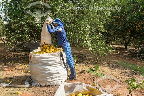 Trabalhador rural colhendo laranja  - Bebedouro - São Paulo (SP) - Brasil