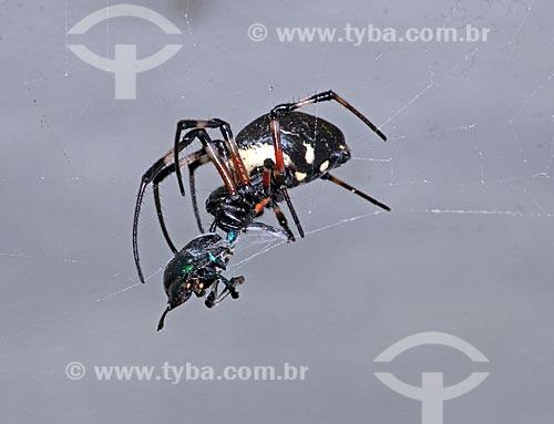 Detalhe de aranha prendendo inseto em sua teia  - Rio de Janeiro - Rio de Janeiro (RJ) - Brasil