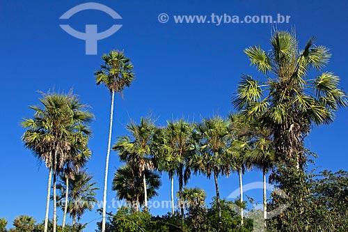 Vista de palmeiras carandá (Copernicia alba) durante a trilha do carandá na Fazenda San Domingos  - Miranda - Mato Grosso do Sul (MS) - Brasil