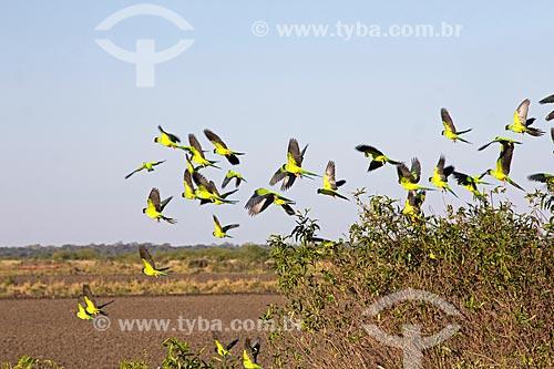 Bando de periquito-de-cabeça-preta (Aratinga nenday) - também conhecido como Príncipe-negro - na Fazenda San Domingos  - Miranda - Mato Grosso do Sul (MS) - Brasil