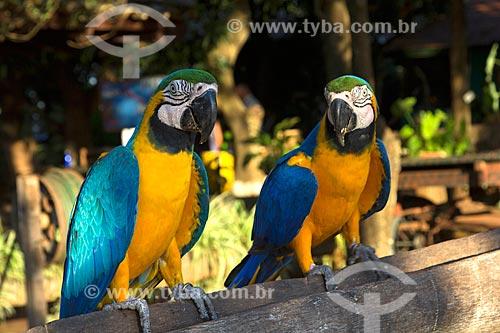 Araras-Canindé (Ara ararauna) - também conhecida como Arara-de-barriga-amarela - na Fazenda San Domingos  - Miranda - Mato Grosso do Sul (MS) - Brasil