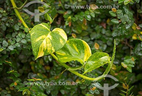 Detalhe de folhas molhadas de Epipremnum aureum - também conhecida como Jibóia  - Guarani - Minas Gerais (MG) - Brasil