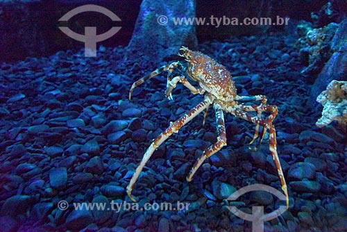 Detalhe de caranguejo-gigante-japonês (Macrocheira kaempferi) no AquaRio - aquário marinho da cidade do Rio de Janeiro  - Rio de Janeiro - Rio de Janeiro (RJ) - Brasil