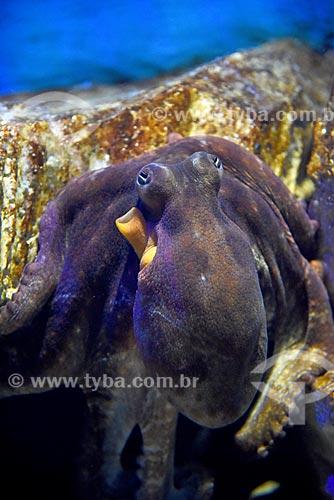 Detalhe de polvo no AquaRio - aquário marinho da cidade do Rio de Janeiro  - Rio de Janeiro - Rio de Janeiro (RJ) - Brasil