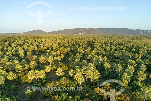 Foto feita com drone de plantação de Carnaúba (Copernicia prunifera)  - Caucaia - Ceará (CE) - Brasil