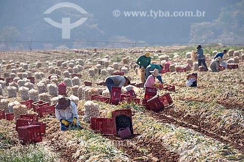 Trabalhadores rurais colhendo cebola  - Monte Alto - São Paulo (SP) - Brasil