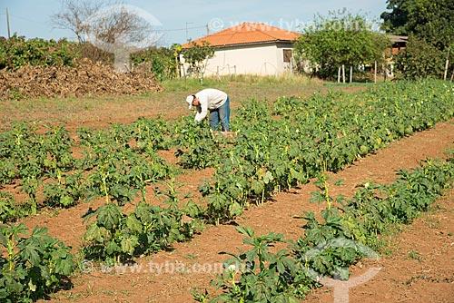 Colheita manual de quiabo em pequena roça  - Taquaritinga - São Paulo (SP) - Brasil