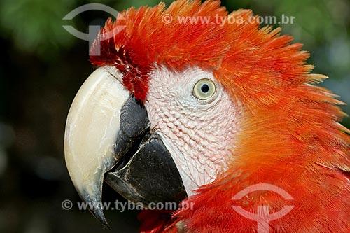 Detalhe de arara-vermelha (Ara chloropterus) - também conhecida como araracanga ou arara-macau  - Amazonas (AM) - Brasil