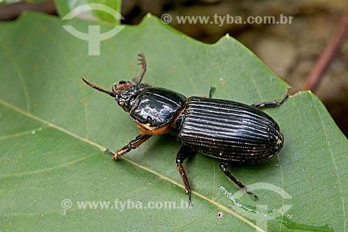Detalhe de besouro-beijoqueiro (Passalidae) na amazônia  - Amazonas (AM) - Brasil