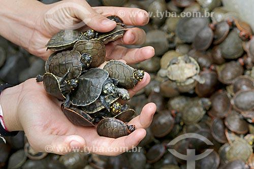Detalhe de menino ribeirinho segurando filhotes de tartaruga-da-amazônia (Podocnemis expansa) no Rio Uatumã  - Amazonas (AM) - Brasil