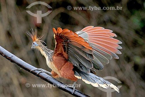 Detalhe de jacu-cigano (Opisthocomus hoazin) às margens do Rio Uatumã na amazônia  - Amazonas (AM) - Brasil