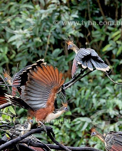 Detalhe de jacu-cigano (Opisthocomus hoazin) na amazônia  - Amazonas (AM) - Brasil